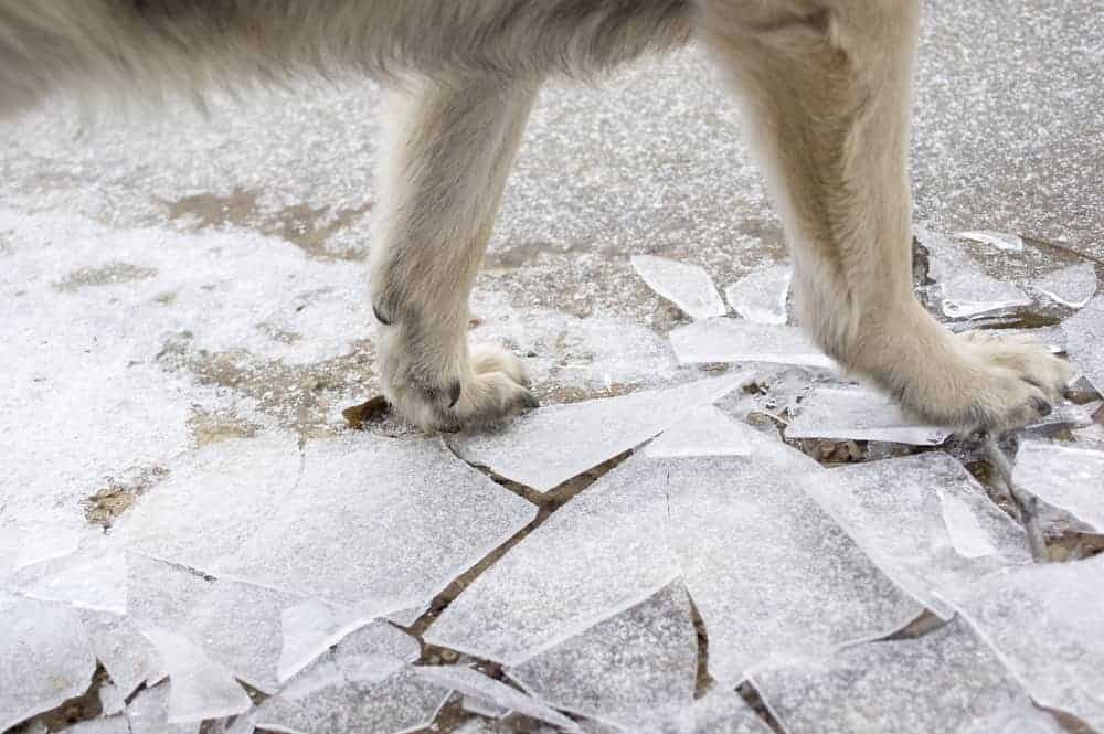 dog's paws showing walking on ice