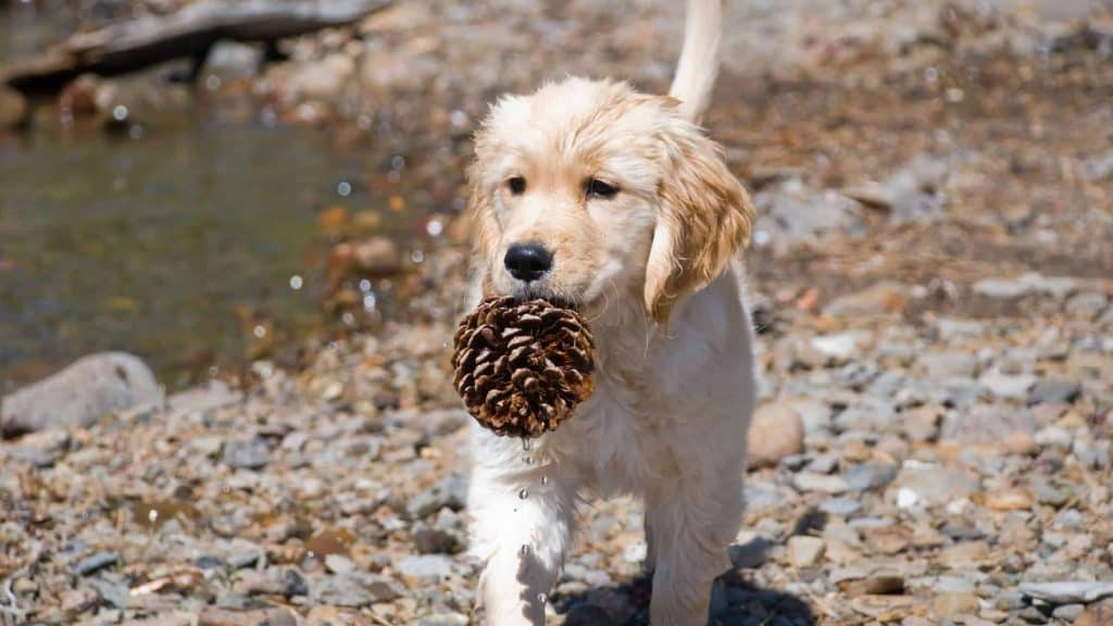 Puppy with pinecone in month can a puppy eat it